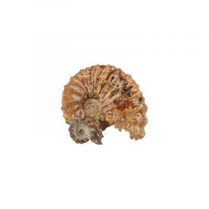 Fossiler Ammonit Traktorrad