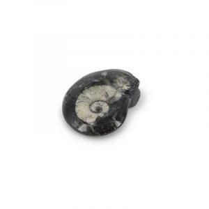 Fossiler Goniatit