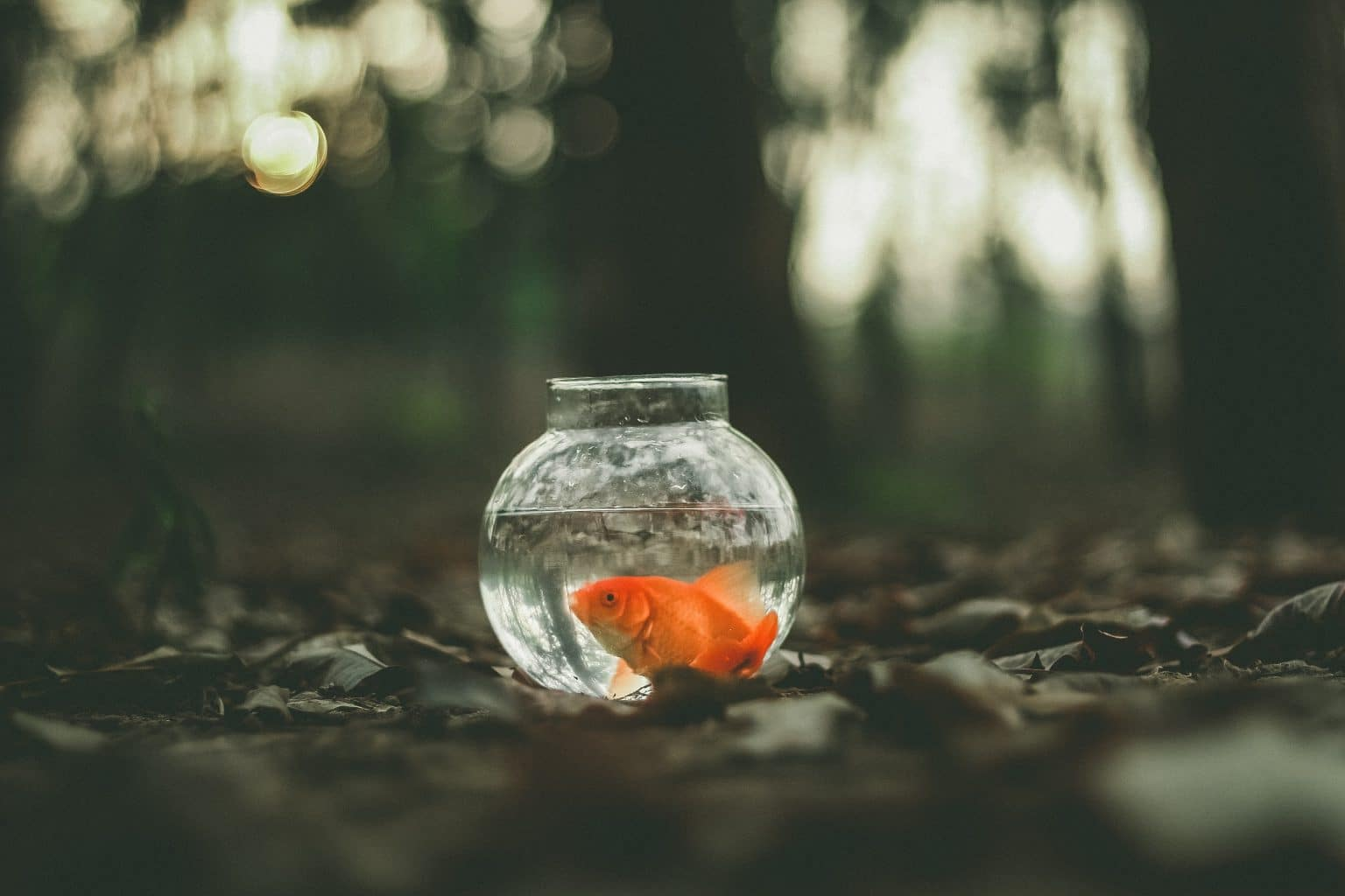 Goldfisch im Glas im Wald