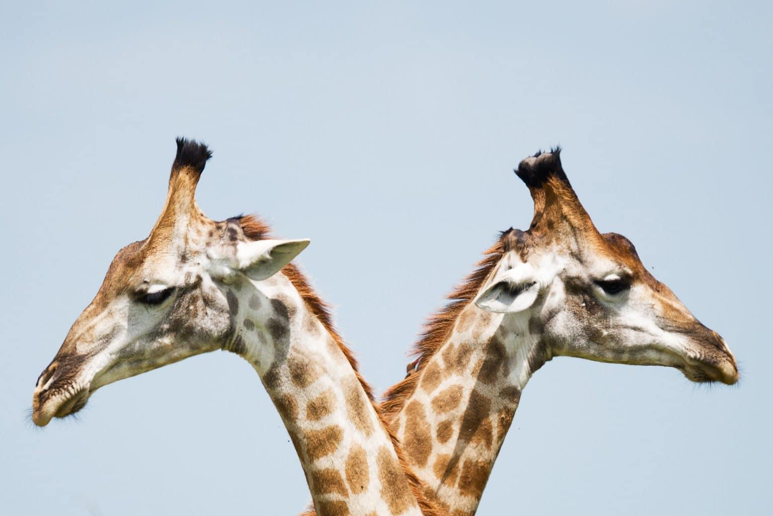 Sternzeichen Zwilling Zwei Giraffen Köpfe symmetrisch for blaugrauem Himmel