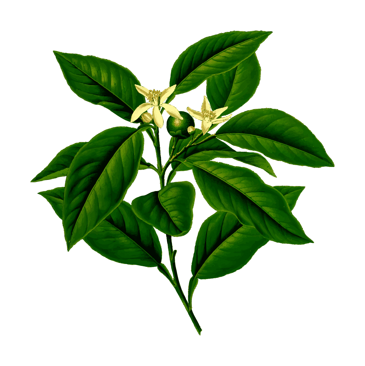 Blume Illustration kleine gelbe Blüten mit großen Grünen Blättern auf weißem Hintergrund