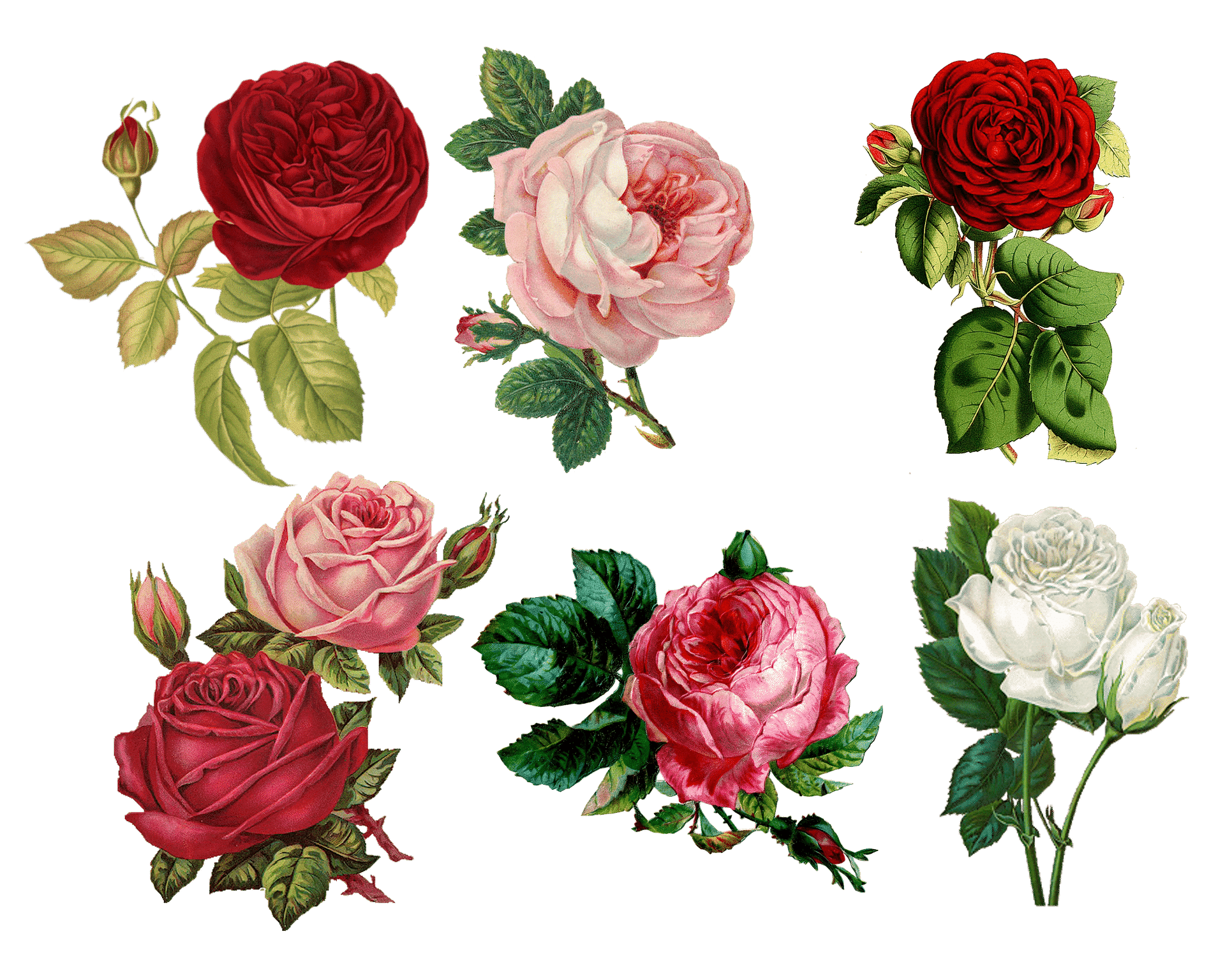 sechs Rosen Illustrationen rot rosa grün weiß auf weißem Hintergrund