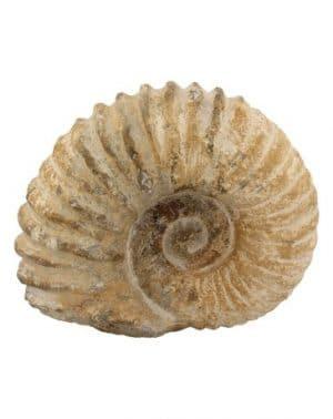 Fossiler Ammonit Traktor Rad (groß)