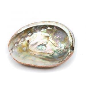 Abalone-Schale - Klein - 50 bis 70 mm